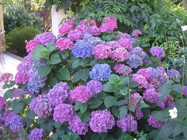 Hortensias para el jardin