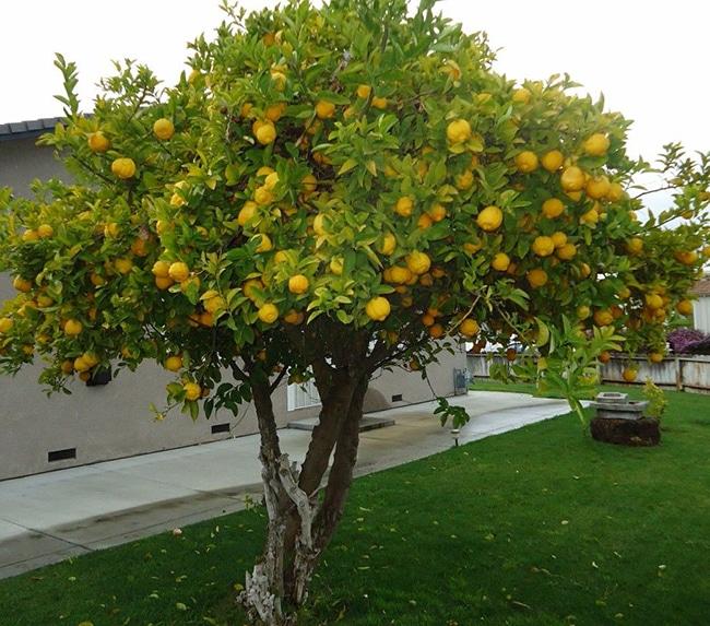 limonero en jardin