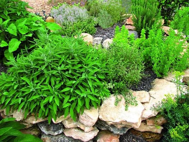 plantas aromaticas para el jardin